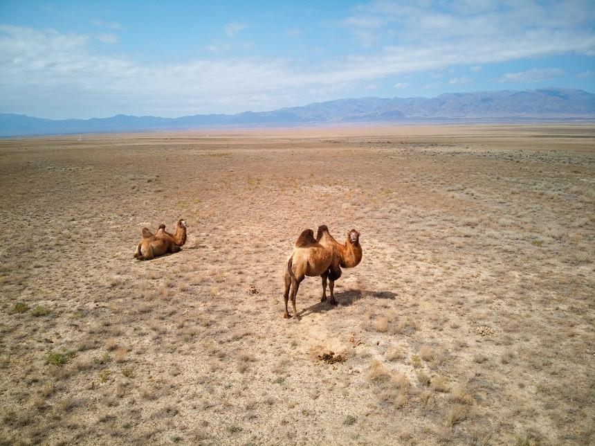 Kamele in Kasachstan