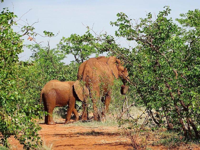 Neugeborener Elefant in Botswana