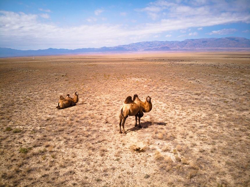 Kamele in der Steppe Kasachstans