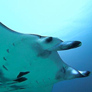 Kopf eines Manta Rochen auf Palau.jpg