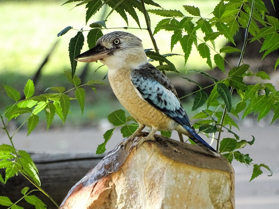 Kookaburra - Australien