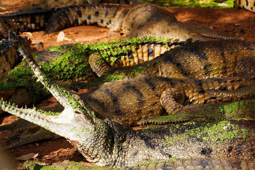 Süsswasserkrokodile - Broome