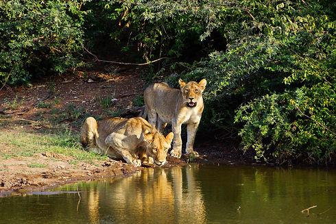 zwei loewen in Botswana