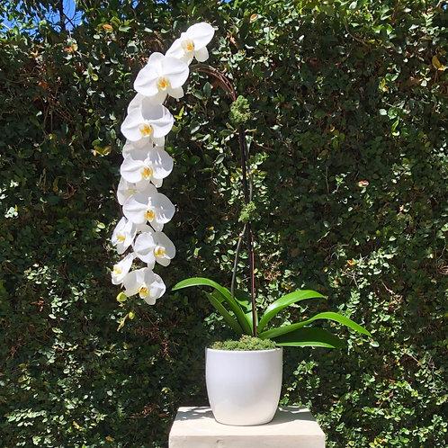 Angel Falls White Phalaenopsis Orchids