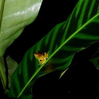 hourglass treefrog