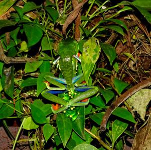 red-eyed treefrogs in amplexus