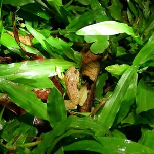 montane dink frog