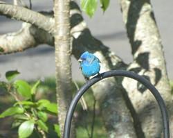 Indigo bunting at our feeder