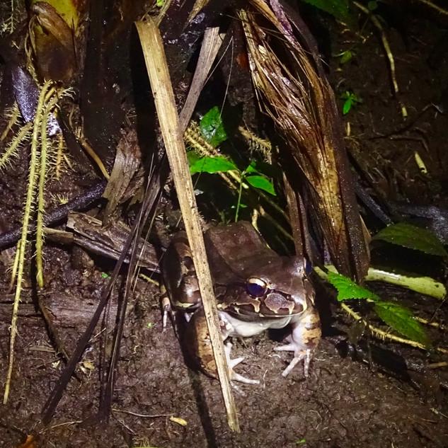 smokey jungle frog
