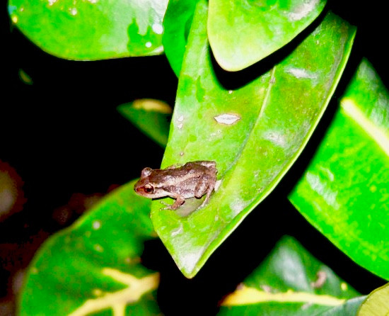 Lesser Antilean whistling frog