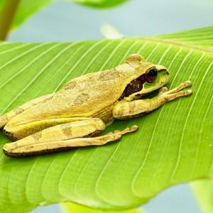 masked treefrog