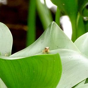 meadow treefrog