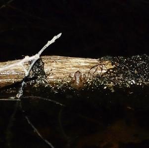 gray treefrog (peeper)