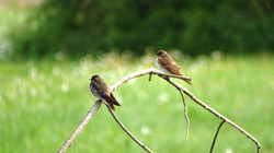 Northern rough-winged swallows