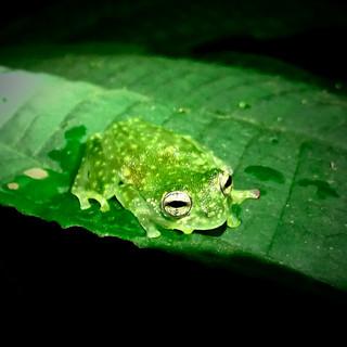 Fleichman's glass frog