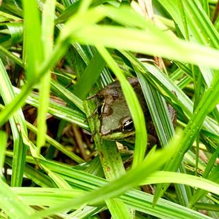 Valiant's frog