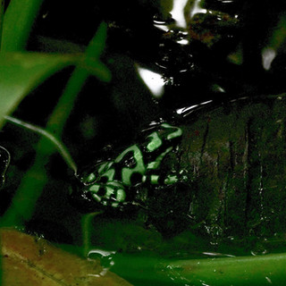 green poison frog