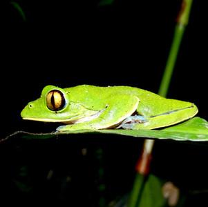 golden-eyed treefrog
