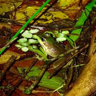 swamp frog