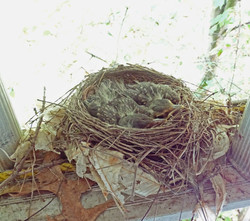 Robin's nest under our eaves