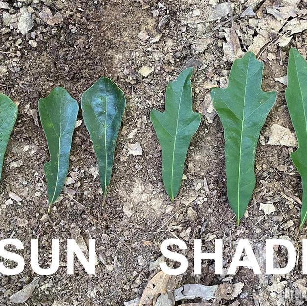 Leaf shape variation