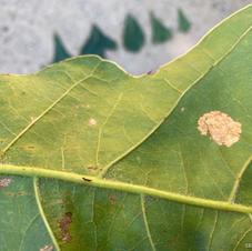Pubescence on leaf
