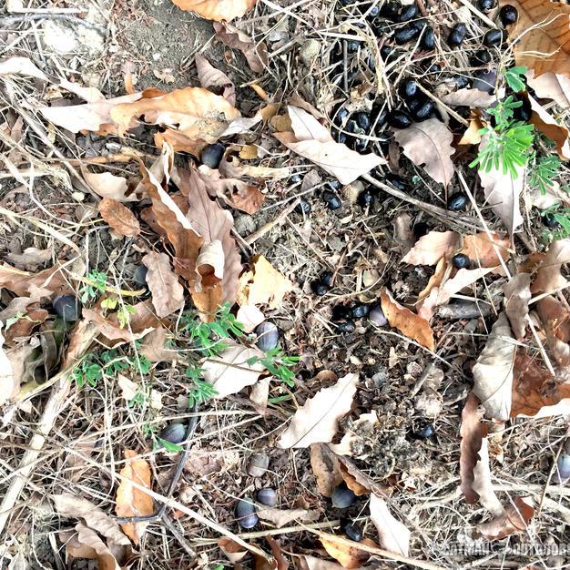 Ripe acorns with deer droppings
