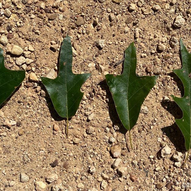 Varying leaf shapes