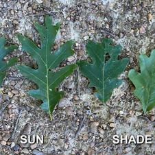 Sun vs. shade leaves