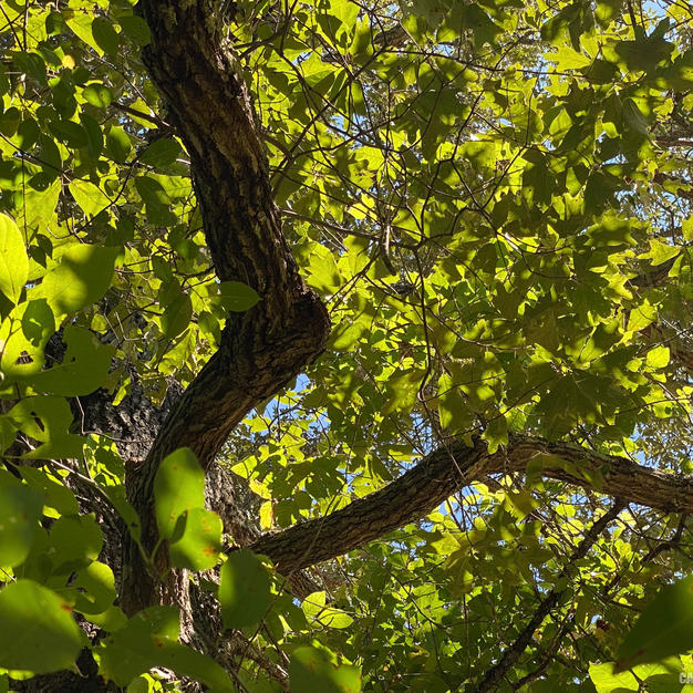 Upper bark on limbs