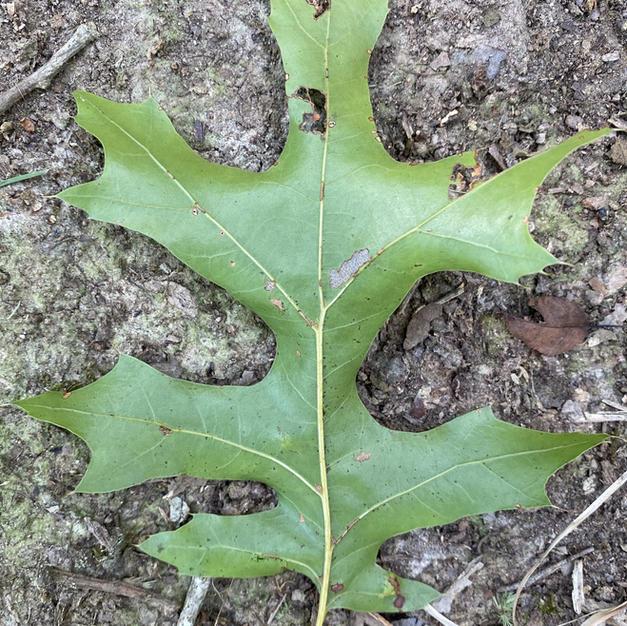 Leaf underside