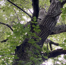 Mature upper bark