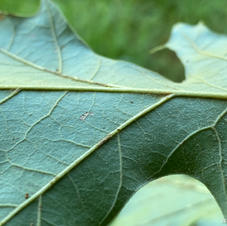 Leaf with pubescence