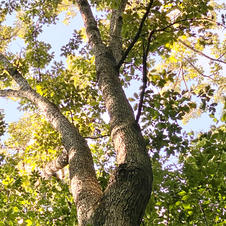 Upper bark and foliage