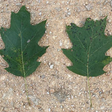 Shade leaves
