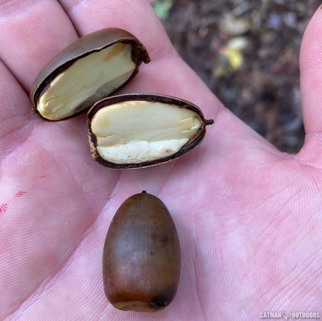 Ripe acorn cross-section
