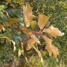Rusty underside of leaves