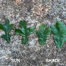 Sun vs Shade leaves