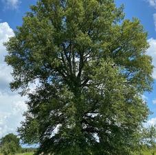 Open-grown tree shape