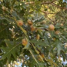 Leaves and unripe acorns
