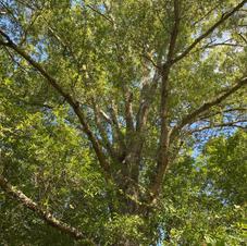 Upper bark and foliage
