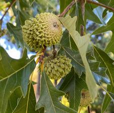 Unripe acorns