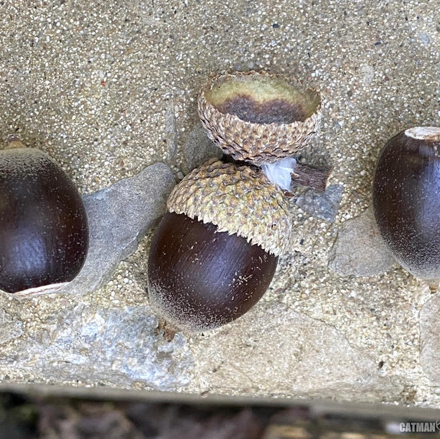 Ripe acorns