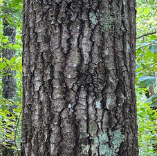 Mature lower bark