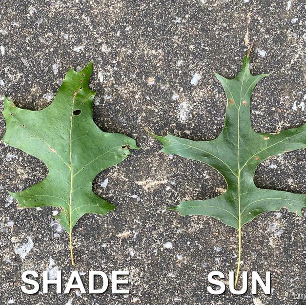 Shade vs Sun leaf