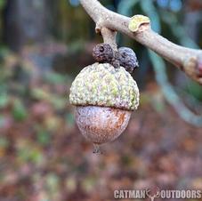 Ripe acorn