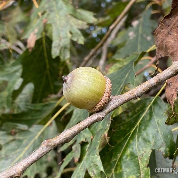 Unripe acorn