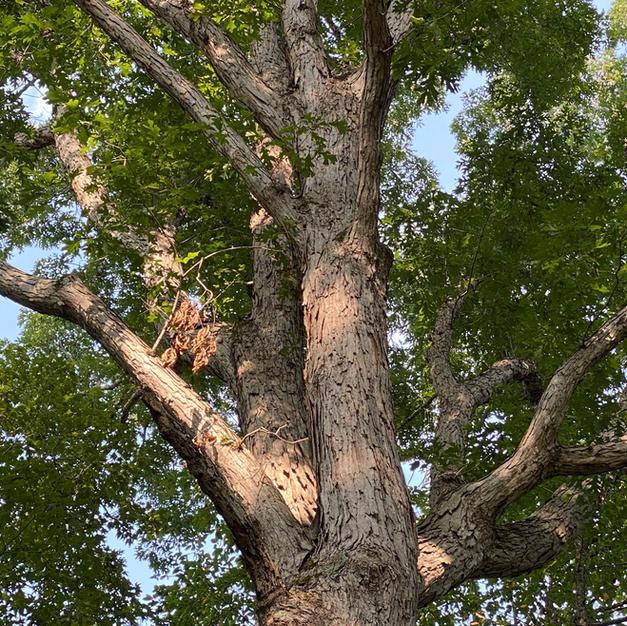 Upper bark