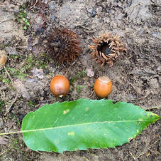 Acorns with leaf
