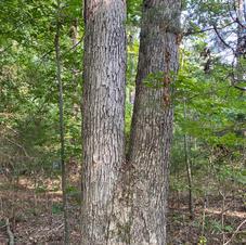 Lower bark